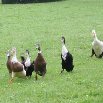 Duck Herding 4